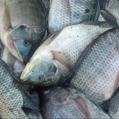 Ikan Nila (500gr)